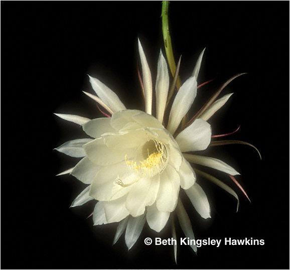 flower gallery for beth kingsley hawkins, Beautiful flower